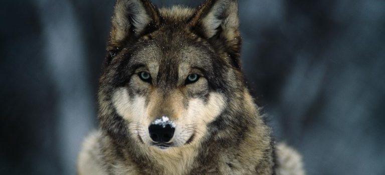 Dominacija – kod vukova/pasa – prvi dio